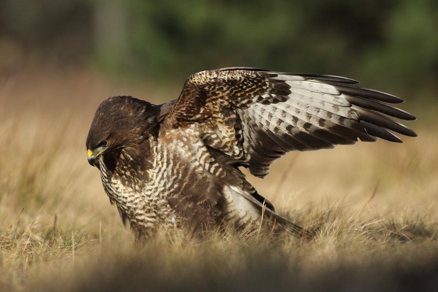 Myszołów zwyczajny/Buteo buteo/Common buzzard