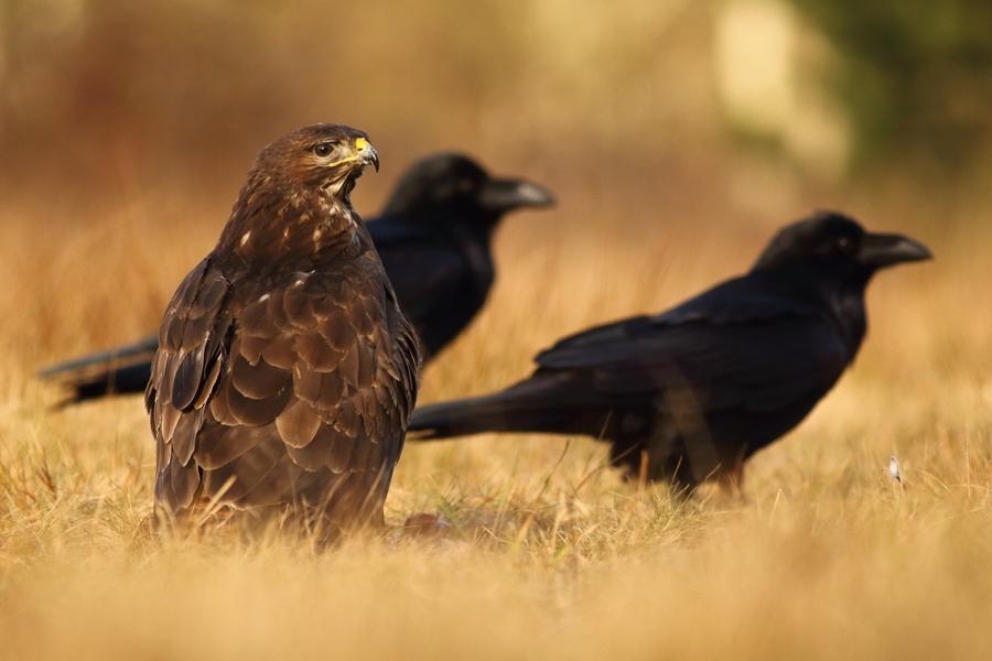 Myszołów zwyczajny/Buteo buteo/Common buzzard, żas na drugim planie są kruki/Corvus corax/Common raven