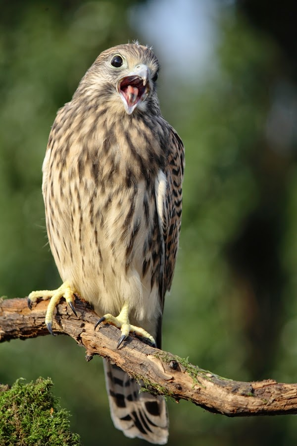 Młoda pustułka/Falco tinnunculus/Common kestrel