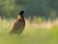 Samiec bażanta/Phasianus colchicus/Common pheasant