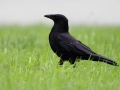 Czarnowron/Corvus corone/Carrion crow