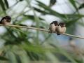 Dymówka/Hirundo rustica/Barn swallow