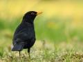Samiec kosa/Turdus merula/Common blackbird