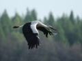 Bocian biały/Ciconia ciconia/White stork