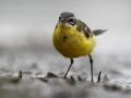 Pliszka żółta/Motacilla flava/Yellow wagtail