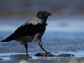Wrona siwa//Corvus cornix/Hooded crow