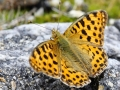 Dostojka latonia/Issoria lathonia/Queen of Spain fritillary