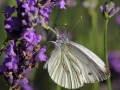 Bielinek bytomkowiec/Pieris napi/Green-veined white