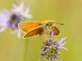 Karłątek ceglasty/Thymelicus sylwestris/Small skipper