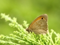 Strzępotek ruczajnik/Coenonympha pamphilus/Small heath