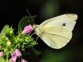 Bielinek kaputnik/Pieris brassicae/Large white