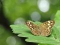 Osadnik egeria/Pararge aegeria/Speckled wood