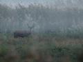 Byk jelenia szlachetnego/Cervus elaphus/Red deer