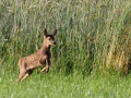 Młoda sarna europejska/Capreolus capreolus/The European roe deer