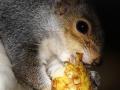 Wiewiórka szara/Sciurus carolinensis/Gray squirrel