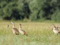 Gęsiówka egipska/Alopochen aegyptiaca/Egyptian goose