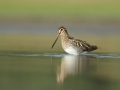 Kszyk/Gallinago gallinago/Common snipe