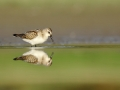 Biegus malutki/Calidris minuta/Little stint