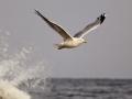 Mewa srebrzysta/Larus argentatus/European herring gull